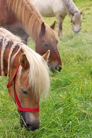 three horses grazing in a row on a pasture, with a beautiful Haflinger horse in the foreground