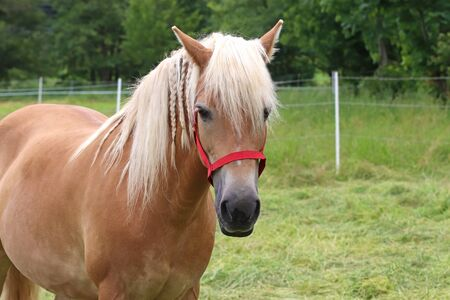 portrait of a beautiful Haflinger horse on a green pasture, looking at camera