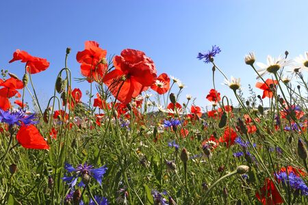 poppies, cornflowers and blooming chamomile in front of blue sky