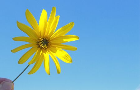 fingers holding a yellow flower in front of clear blue sky