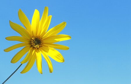 single yellow flower in front of clear blue sky with copy space Stockfoto