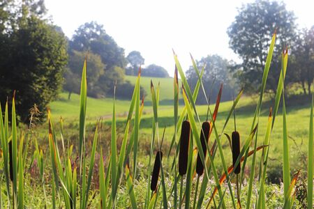 Green summer landscape with cattails or reeds in the foreground