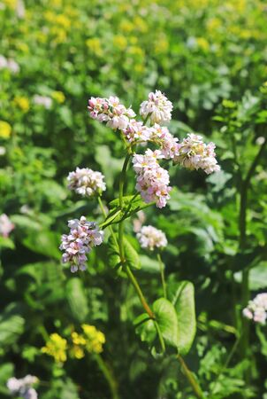 pink and white blooming buckwheat plant, close-up