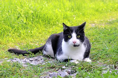 cute black and white cat lying on green fresh grass, looking at camera