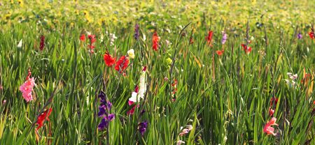 field with multi colored gladioli, web banner, beautiful natural background