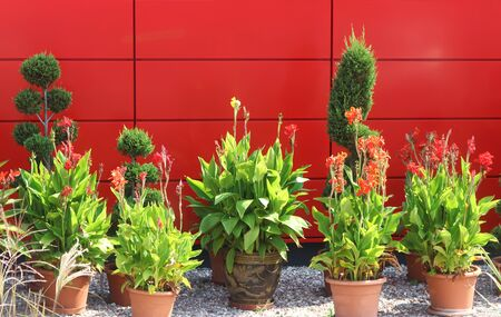 large flower pots standing in front of a red wall, background with copy space Stockfoto