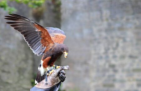 eagle with spread wings is sitting on the leather glove of a falconer and is eating