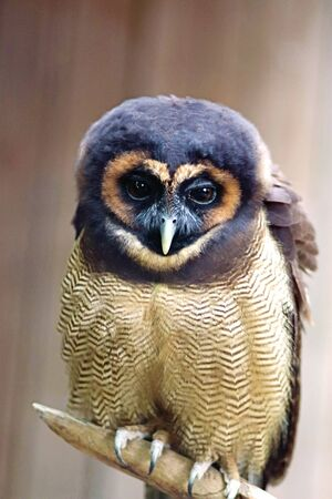 Small brown wood owl, sitting on a branch, looking at camera