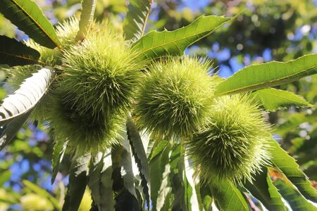 close-up of three prickly fruits on a sweet chestnut tree