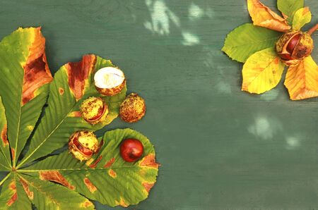natural autumn background with chestnuts, chestnut leaves and sunny spots on a green wooden background