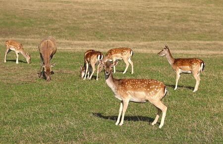 fallow deer herd and a single red deer, all females, grazing on a sunny pasture