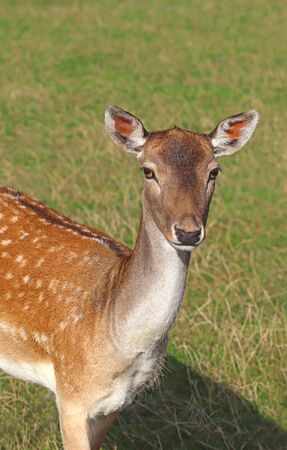 portrait of a female fallow deer on a sunny pasture