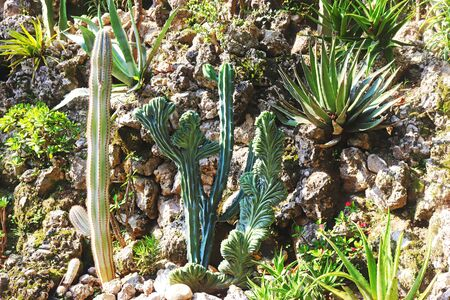 rock garden with a variety of cacti and succulents in sunlight, full frame