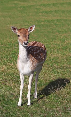 cute fallow deer fawn on a pasture, looking at camera Stockfoto