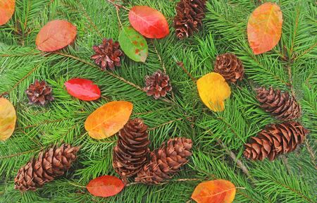 multi colored autumn background with autumn leaves, green coniferous branches and pine cones