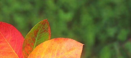 web banner with multi colored autumn leaves in front of a green garden background with copy space