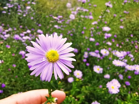 fingers holding a purple michaelmas daisy sprinkled with raindrops, flowerbed in background Stockfoto