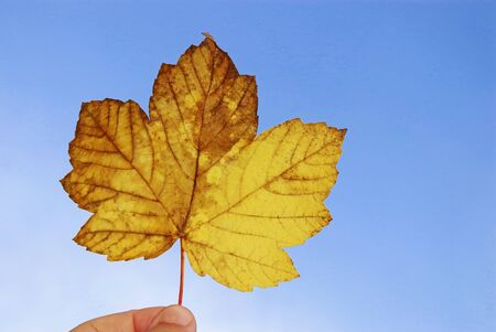 hand holding a gold colored and brown maple leaf in front of blue sky, autumn background with vibrant colors and copy space