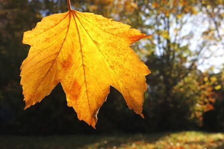 gold colored autumn maple leaf hanging from a tree, back lit, natural background with copy space 스톡 콘텐츠