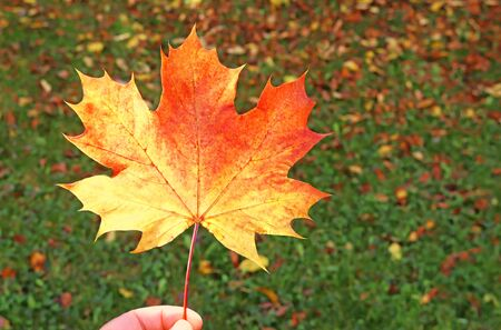 hand holding an orange colored maple leaf in front of grass covered with autumn leaves, background with copy space