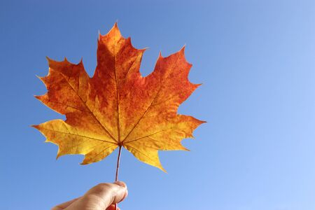orange colored maple leaf, held with a a hand, in front of a clear blue sky Stockfoto