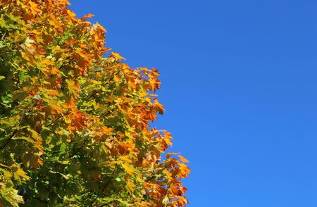 multi colored leaves of a maple tree in autumn, blue sky, background with copy space Stockfoto