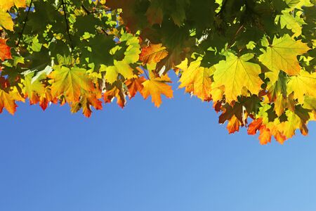 background with multi colored maple leaves in front of blue sky