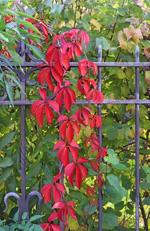 red and green autumn leaves of Virginia creeper growing on a wrought iron fence