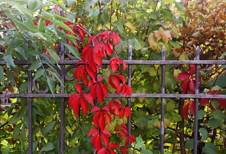red, green and brown autumn leaves of Virginia creeper behind a wrought iron fence