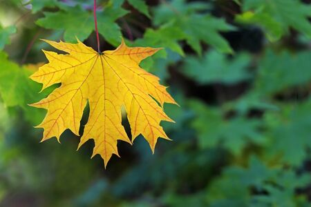 orange colored maple leaf hanging in front of green leaves, seasonal background with copy space