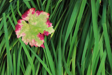 colorful red and green autumn leaf of a vine plant lying on broad green grasses, seasonal background with copy space Stockfoto