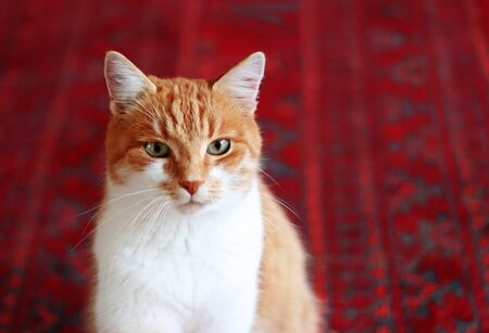 close-up of a cute tabby cat sitting on a red and black oriental carpet