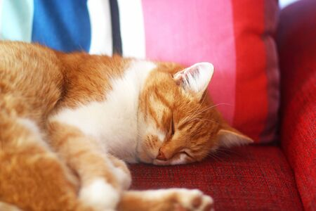 close-up of a red tabby cat sleeping on a red sofa