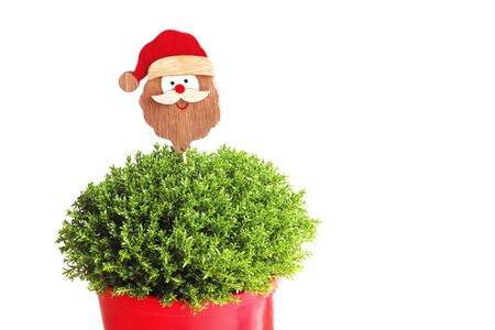 christmas background with a cute santa claus head over a green potted plant and with copy space, isolated object