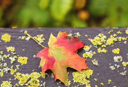 multi colored maple leaf lying on an weathered wooden table, covered with moss