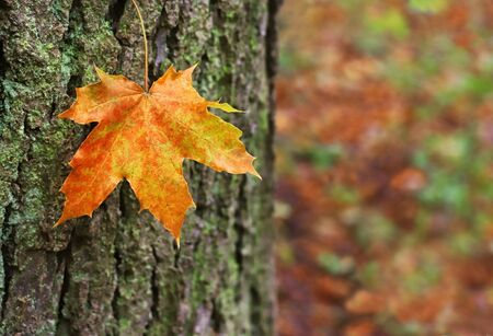 close-up of an orange colored maple leaf hanging in front of a tree trunk Stockfoto