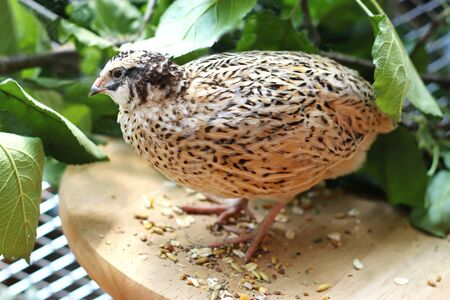 portrait of a beautiful japanese quail standing in front of green branches in an aviary