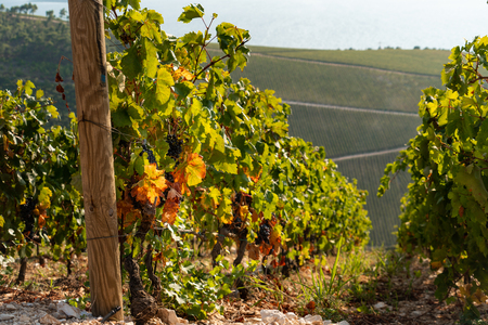 Vineyard on the mountain. Wine making industry 스톡 콘텐츠