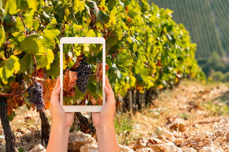 A farmer measures the quality of grapes using a tablet app. Smart farming and digital agriculture concept.