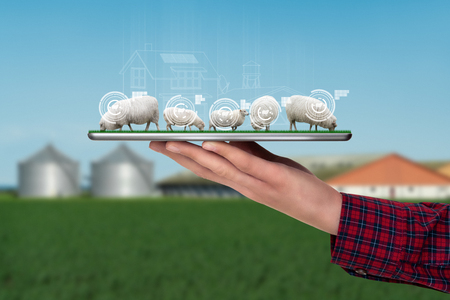 A farmer holds a tablet with a flock of sheep. Smart farming and digital transformation in agriculture