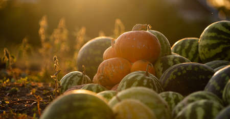 Pumpkins on an agricultural field at sunset