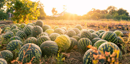 A pile of watermelons in the field at sunset Stock fotó