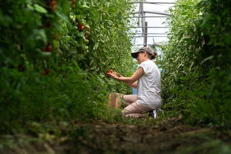 A woman farmer picks cherry tomatoes in a greenhouse. Organic farm. Фото со стока