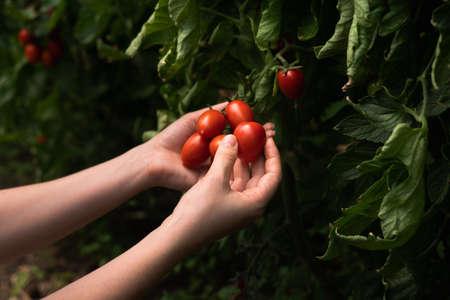 A woman farmer picks cherry tomatoes in a greenhouse. Organic farm.