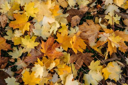 Thick carpet of fallen maple leaves. Bright yellow maple leaves on the ground, close-up. Background concept.
