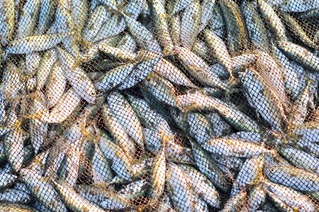 A lot of small fish in the seine, close-up. Simple food of the fishermen, morning catch. Freshly caught fish in the nets. Stock Photo