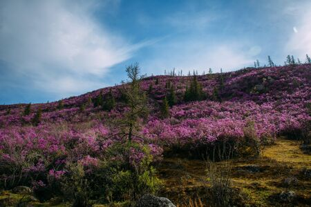 Fabulous spring floral landscape, beautiful view with blooming pink rhododendrons on the hillside and fantastic sky. Flowering of maralnik or rosemary in the mountains. Wonderful world of nature.