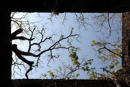 Intertwined thick branches against the blue sky, view from below. Crowns of trees over the stone walls of old Fort in India. Square shape, abstract background.