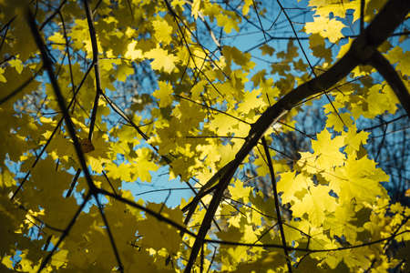 Yellow maple leaves on background of blue sky, warm autumn. Maple branches, close up. Natural backgrounds, Wallpaper.