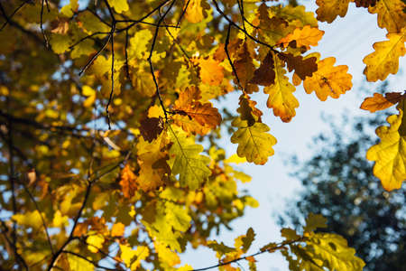Yellow oak leaves against blurred sky on autumn day. Oak branches, close-up. Natural backgrounds, space for text.